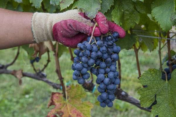 Ripe Merlot grapes hang on the vine at