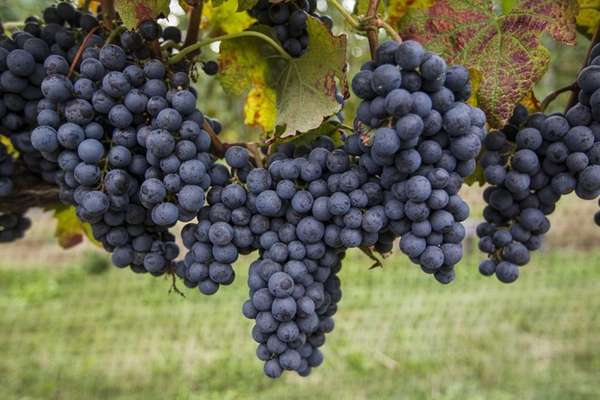 Ripe merlot grapes ready for picking during harvest