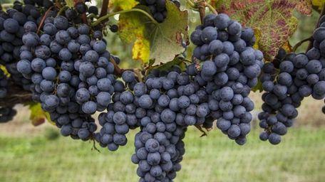Ripe merlot grapes ready for picking during harvest