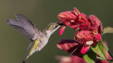 Long Island Hummingbird Plants in Medford specializes in