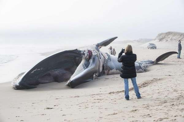 A large 50-to-60-foot whale, believed to be a