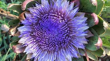 Globe artichokes, like this one available from The