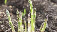 Shoots of asparagus growing in the soil.