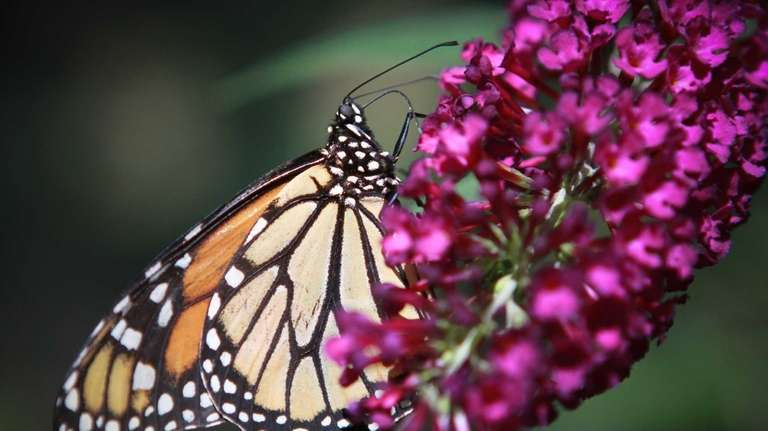 A Monarch butterfly perches on a royal red