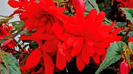 Funky Scarlet Begonia are long-blooming and heat-tolerant, attracting