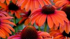 'Orange You Awesome' coneflowers grow 18 to 22