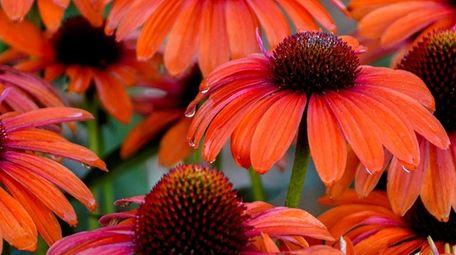 'Orange You Awesome' coneflowers grow 18 to 22