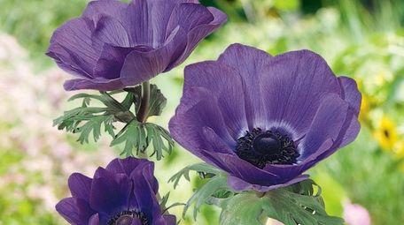 Anemone 'Mona Lisa Blue,' a prolific windflower, can
