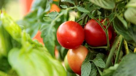 Tempting Tomatoes 'Garden Gem' produces snack-size fruit with