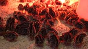 Approximately 60 Rhode Island Red pullets, which are