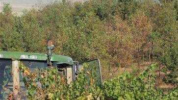Wine harvest workers snip off grapes at the