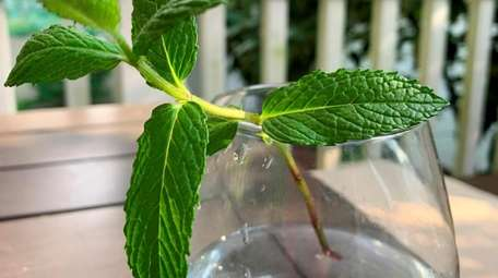 To root mint, place the cut end of