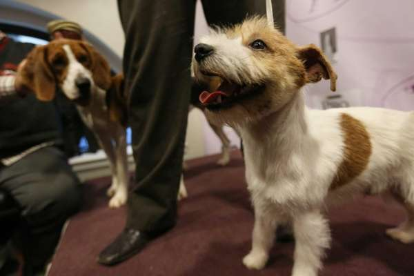 The Westminster Kennel Club announces two new breeds