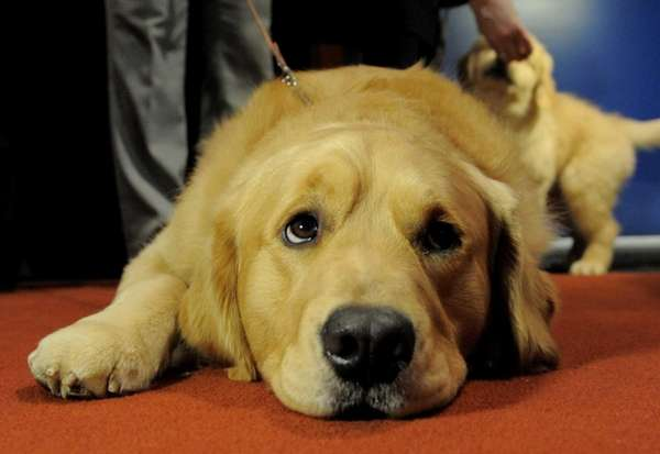 Major, a Golden Retriever, at an American Kennel