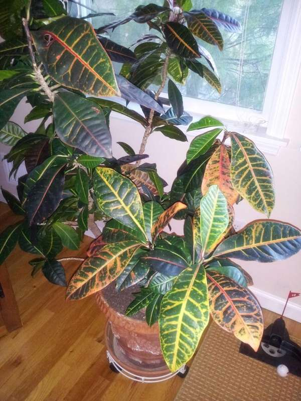 Reader Bob Delfino's 17-year-old croton (aglaonema).