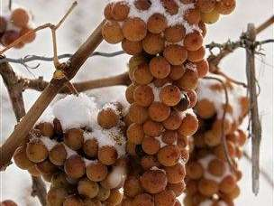 Vidal grapes waiting to be harvested and pressed