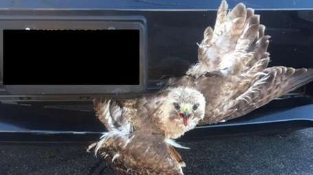 A red-tailed hawk was stuck in a truck's