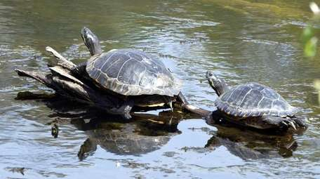 Turtles sunbathe at Caleb Smith State Park in