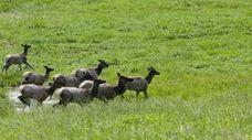 Kentucky now has 14,000 elk in coal country,