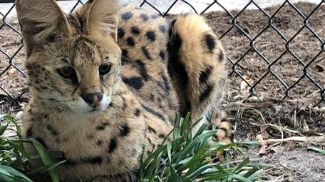 Nala the African Serval Cat awaits visitors to