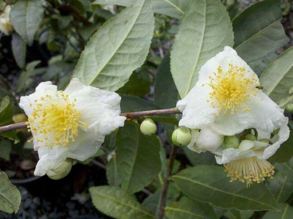 Look for Camellia sinensis var. sinensis, the hardier
