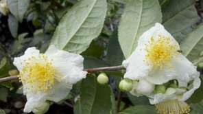 Look for Camellia sinensis var. sinensis, the hardier