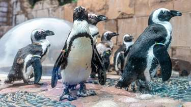 The African penguins at the Long Island Aquarium