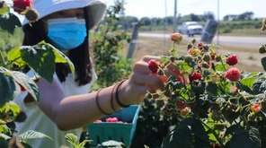U-pick season at Lewin Farms in Calverton includes