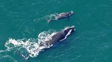 A female right whale swims at the surface