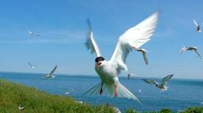 Roseate terns at Great Gull Island on the