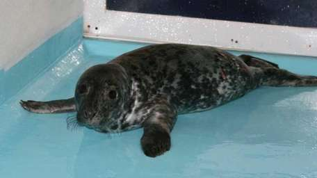A gray seal pup with infected wounds recuperates
