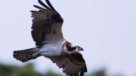 An osprey hunts for food along the shore