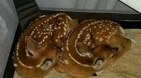 These twin whitetail fawns were delivered after their