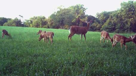 Hundreds of deer are thought to live in