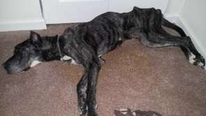 "A dog named Queenie was found ""beyond emaciated"""