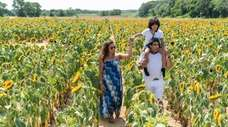 There's a new sunflower maze at Rottkamp's Fox