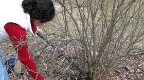 Late winter is the time to prune shrubs