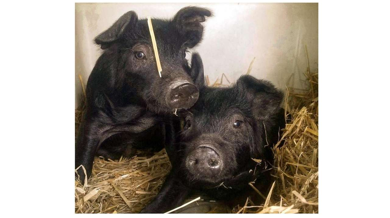 You Can Name Old Bethpage Village Restoration S New Piglets Newsday,How To Get Oil Stains Out Of Clothes With Baking Soda