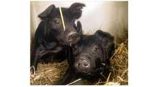 Two piglets at Old Bethpage Village Restoration, born