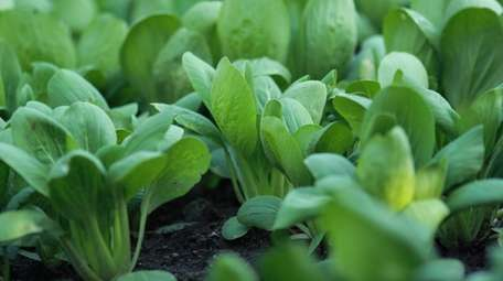 Keep soil consistently moist for spinach plants, and