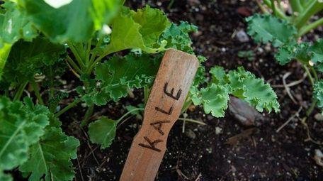 The flavor of kale improves after a light