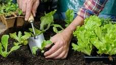 Lettuce seeds can be sown seeds directly into