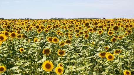Smiles of acres of sunflowers at the North