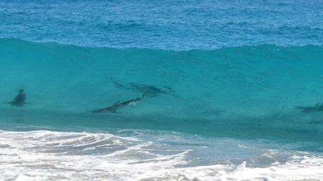 A pod of spinner sharks is seen through
