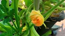 Male and female zucchini flowers need to be