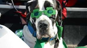 Sporting green shamrock shades, Crusher, a Great Dane,