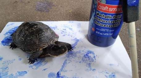 Turtles like this Blanding show their artistic sides