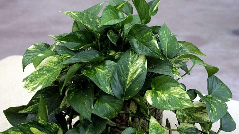 The pothos has long vining stems with glossy,