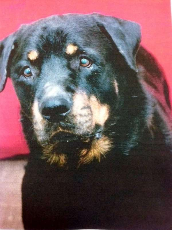 Bruno, an adult rottweiler, faced an uncertain future