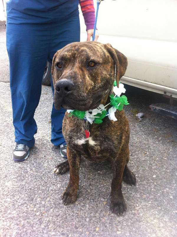 Jerry, a year-old brindle pit bull, is dressed